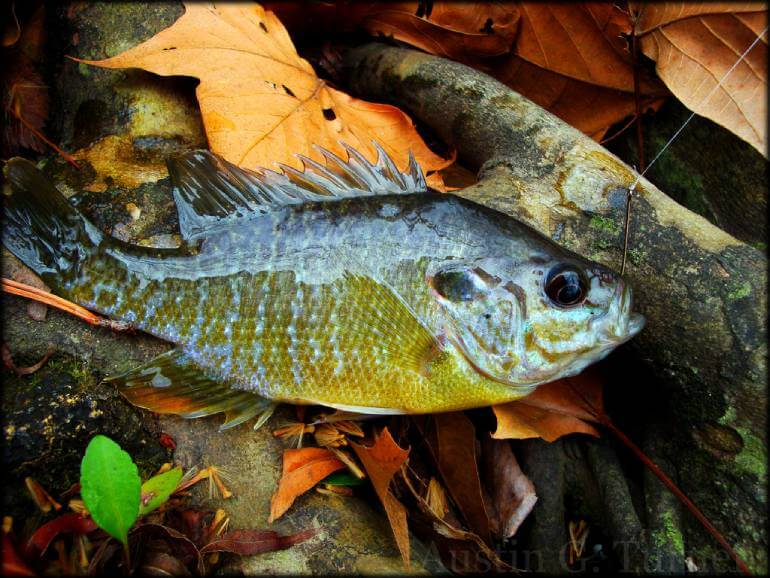 Best Bait for Sunfish et al (pumpkinseed)
