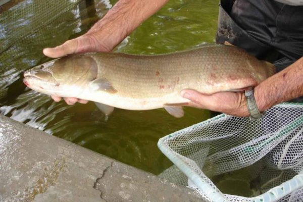 Bowfin Fishing 101: How to Begin Hooking the Ancient Dogfish