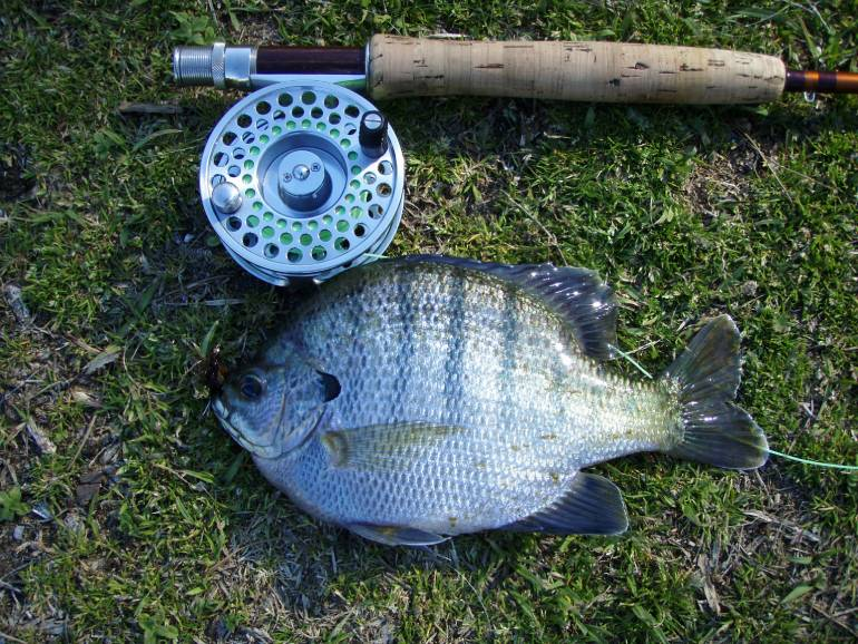 Bluegill Fishing Tips: How to best catch this popular sunfish